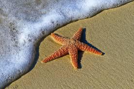 estrela do mar alaranjada